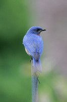 Sticking it Out (Eastern Bluebird)