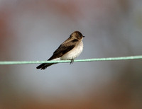 Northern Rough-winged Swallow on the Wire