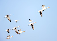 Snow Geese in Blue