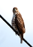 Welcome to the Swamp (Red-tailed Hawk)