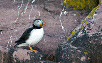Atlantic Puffin (Witless Bay Ecological Preserve)