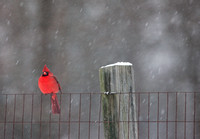 Northern Cardinal on the Fence