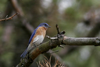 Eastern Bluebird in the Woods