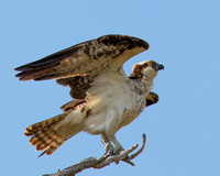 Osprey at Higbee Beach