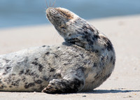 Harbor Seal at Jackson Street