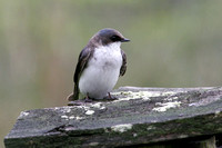 Immature Tree Swallow