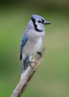 Jays, Crows, and Their Allies