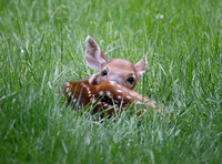 Little Deer Who Lies Quietly On Lawn