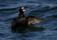 Surf Scoter Flapping