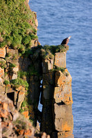 On the Edge (Bald Eagle) - Cape St. Mary's Ecological Preserve