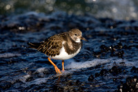Wintering Ruddy Turnstone