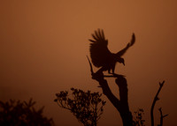 Vulture Landing in the Early Morning Fog