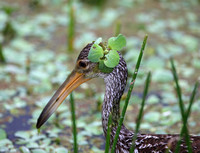 Limpkin Fashion Statement (Green Cay, FL)