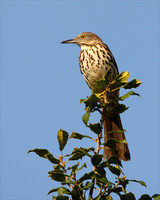 Brown Thrasher at the Hook