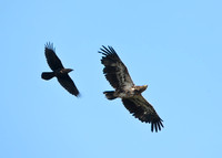Common Raven and Bald Eagle
