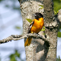 Baltimore Oriole with Fill Flash