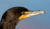 Portrait of a Double-crested Cormorant