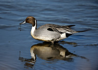 Northern Pintail Dripping