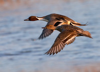 Northern Pintails in Flight