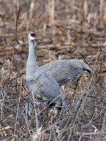 Sandhill Cranes in Franklin Township