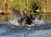 Food Fight! (Double-crested Cormorants)