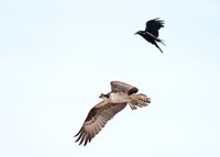Osprey and Crow Duking it Out