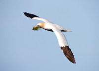 Northern Gannet in Flight (Cape St. Mary's Ecological Preserve)